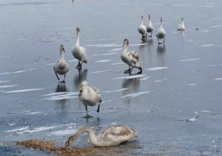 Жители Ростовской области спасли лебедей