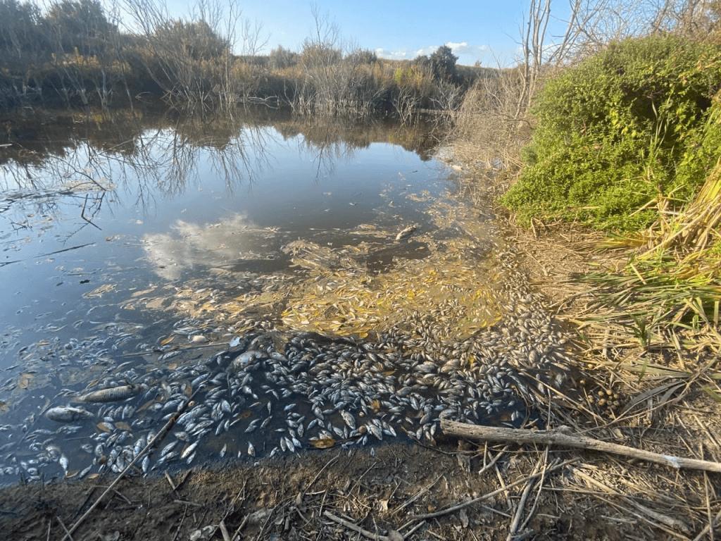 В водоеме Ростовской области массово гибнет рыба